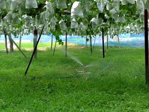 ぶどう園の灌水