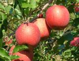 りんご「サンふじ」