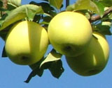 りんご「シナノゴールド」