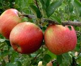 りんご「シナノスイート」
